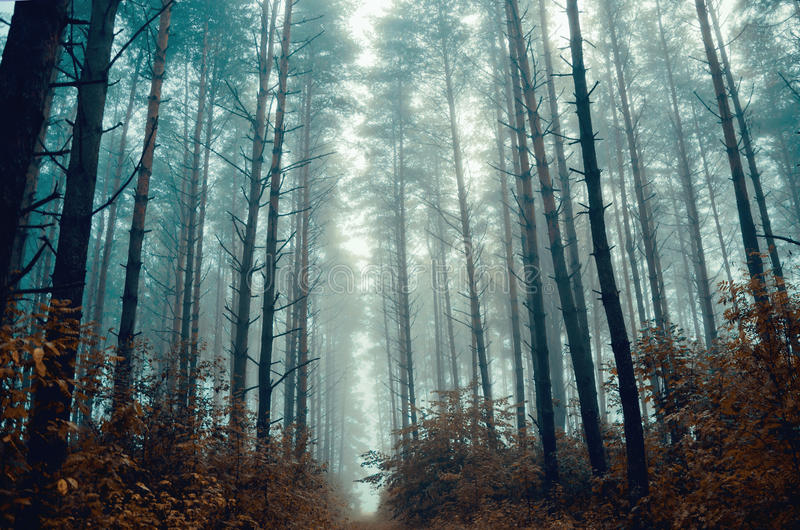 Mystic foggy forest royalty free stock image