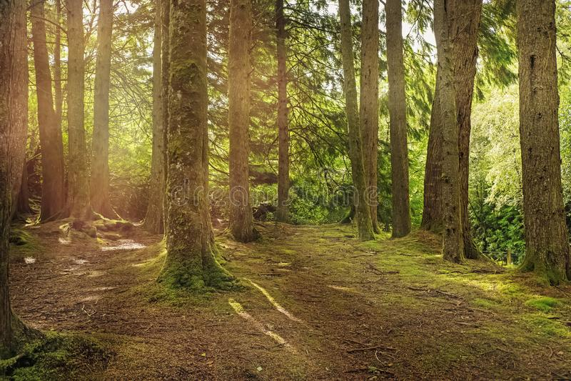 Mystic green forest with moss and green grass on sunny day with sun rays. Going through the trees royalty free stock image