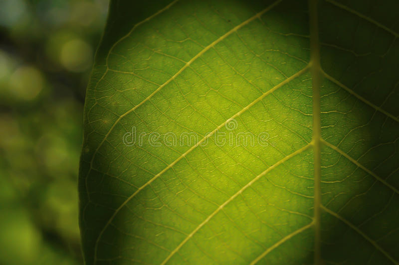 Detail of green leaf with blurred background royalty free stock photos