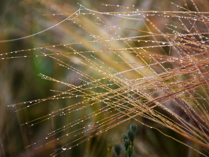 Mystical abstract cereal ears, morning dew, royalty free stock image