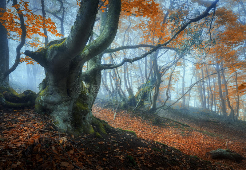 Mystical autumn forest in fog. Magical old trees in clouds. Colorful landscape with foggy forest, trail, orange foliage in Crimea. Fairy forest in autumn. Fall stock image