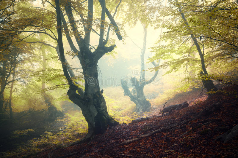 Mystical autumn forest in fog in the morning. Autumn foggy forest. Mystical autumn forest in fog in the morning. Old Tree. Landscape with trees, colorful green royalty free stock image