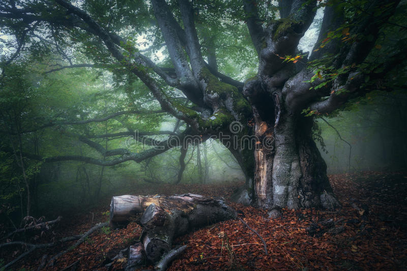 Mystical autumn forest in fog in the morning. Old Tree. Forest in fog. Mystical autumn forest in fog in the morning. Old Tree. Beautiful landscape with trees stock photos