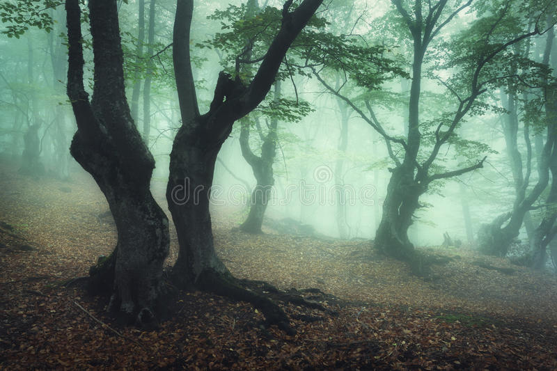 Mystical autumn forest in fog in the morning. Old Tree. Enchanted trees in foggy forest. Mystical autumn forest in green fog in the morning. Old Tree. Beautiful stock photography