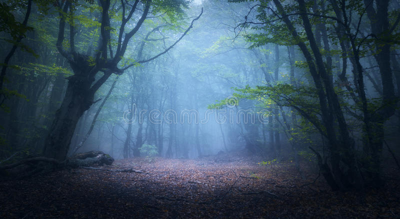 Mystical autumn forest in fog in the morning. Old Tree. Forest in fog. Fall woods. Enchanted autumn forest in fog in the morning. Old Tree. Landscape with trees royalty free stock photo