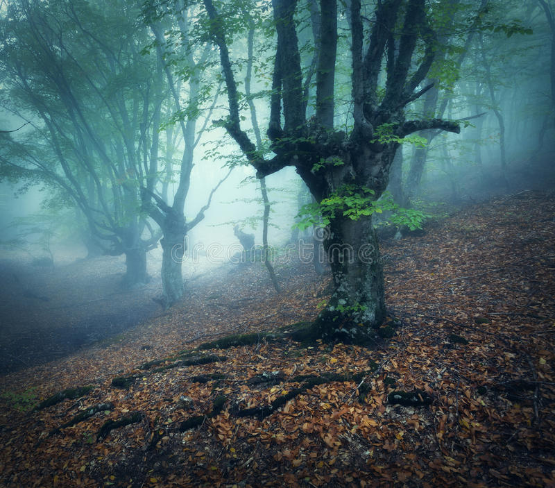 Mystical autumn forest in fog in the morning. Old Tree. Foggy forest. Mystical autumn forest in fog in the morning. Old Tree. Beautiful landscape with trees royalty free stock images