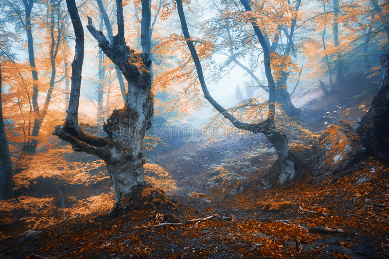 Mystical autumn forest in fog in the morning. Old Tree. Autumn foggy forest. Mystical autumn forest in fog in the morning. Old Tree. Landscape with trees royalty free stock image