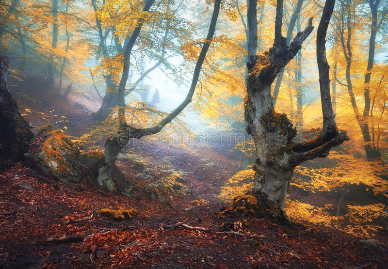 Mystical autumn forest in fog in the morning. Old Tree. Autumn foggy forest. Mystical autumn forest in fog in the morning. Old Tree. Landscape with trees stock image