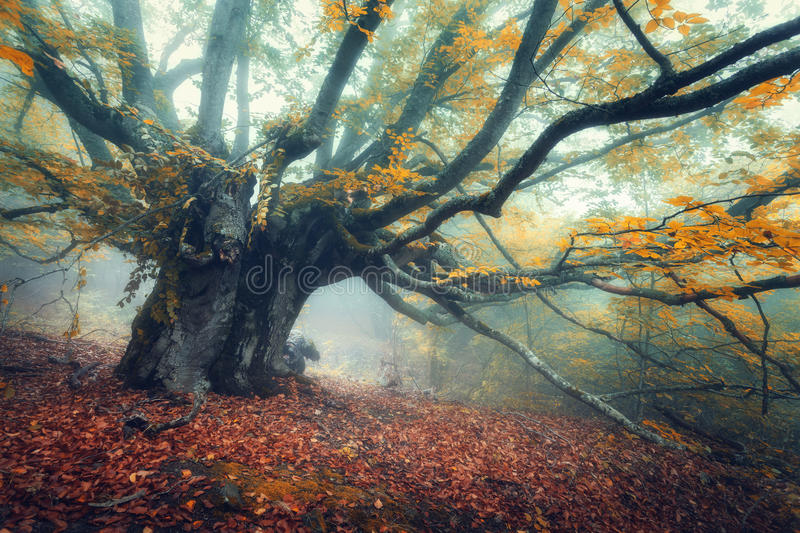 Mystical autumn forest in fog in the morning. Old Tree stock images
