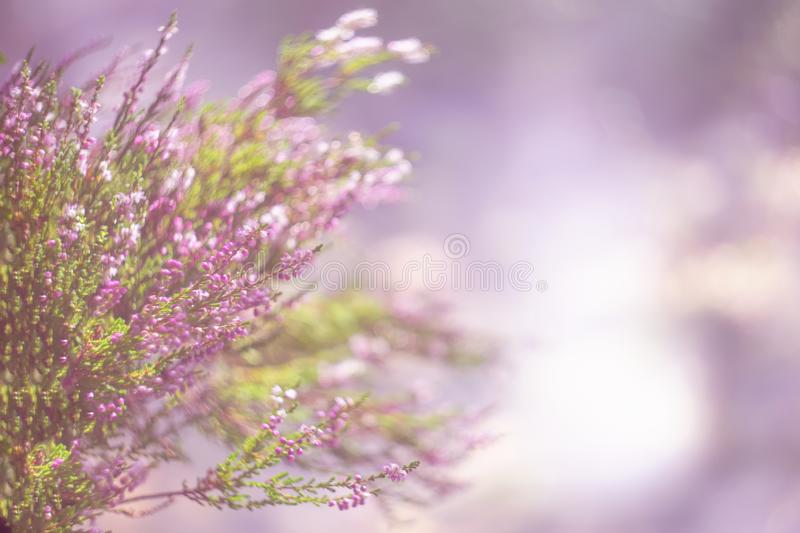 Mystical defocused background with purple heather bushes and nice bokeh circles. Author processing of the photo. Copy space. stock images