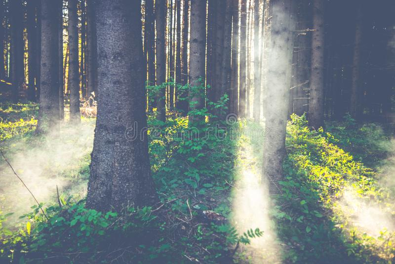 Mystical forest with mist royalty free stock image