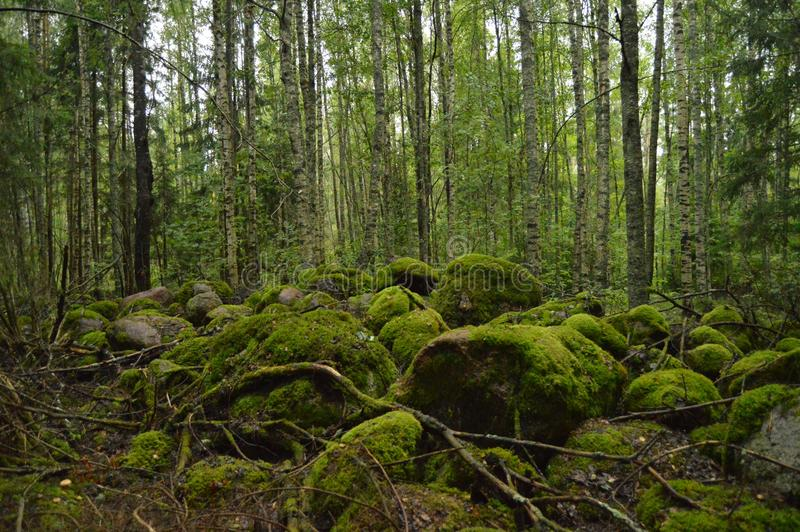 Mystical forest with moss-grown rocks stock photography