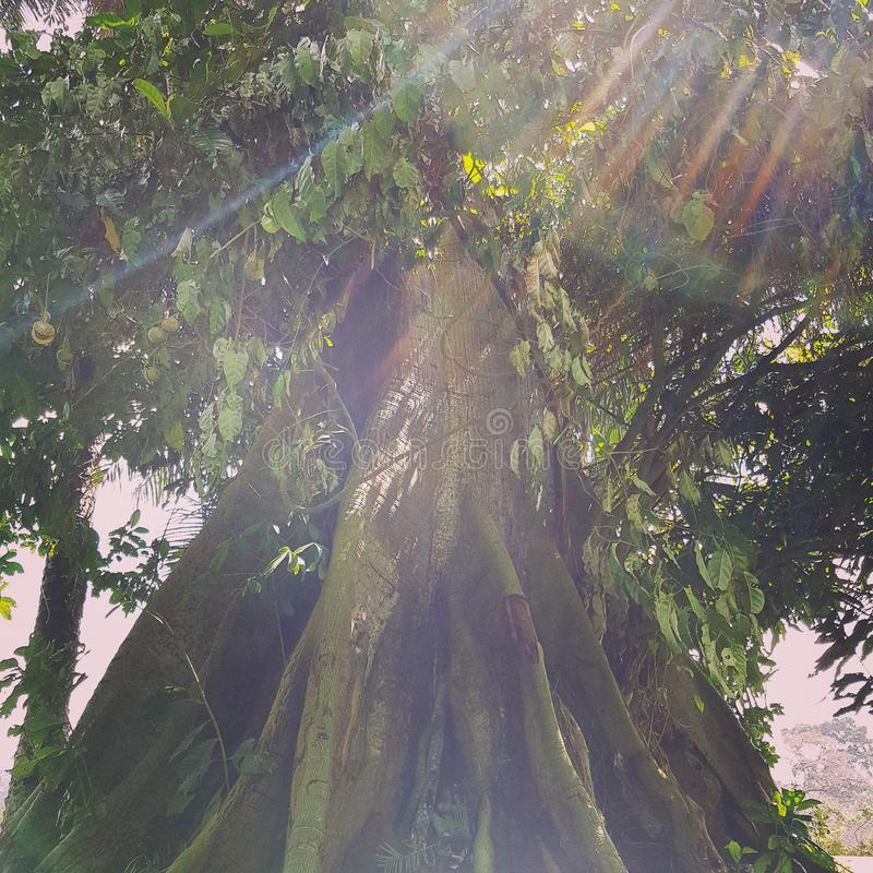 Sunbeam over huge centennial tree. A mystical moment in a tropical forest in Cameroon, with sunbeam arround us and between centennial trees stock photo