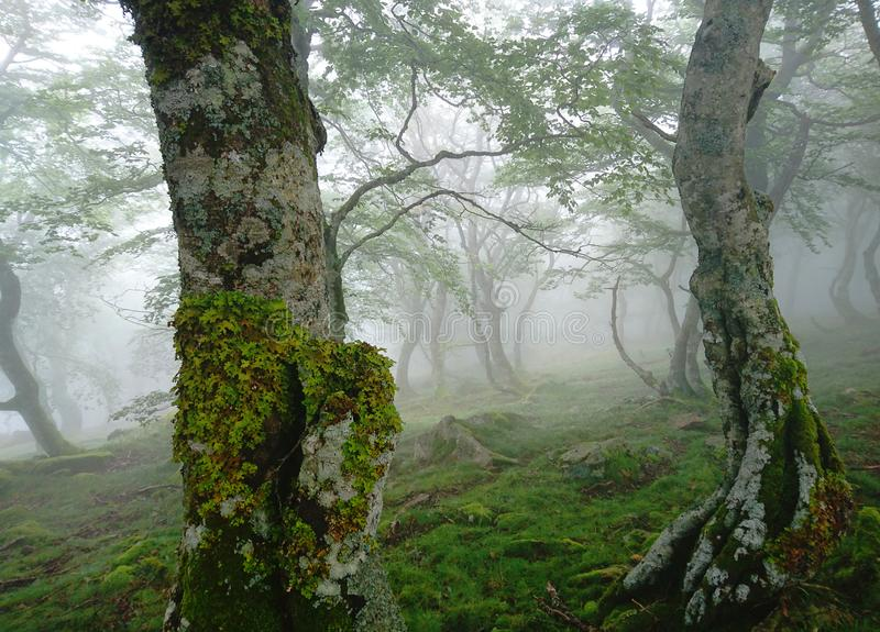 Mystical morning fog in birch forest, green leaves, dancing birch trees close-up, Roncesvalles Pass, Pyrenees royalty free stock photos