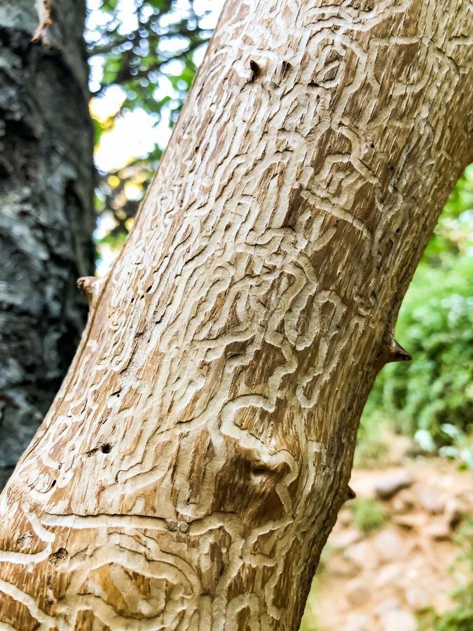 Mystical and Mysterious Patterns on a Tree. This tree has several patterns that seem to be caused by a bug eating the tree`s truck. It was captured in Central stock photography