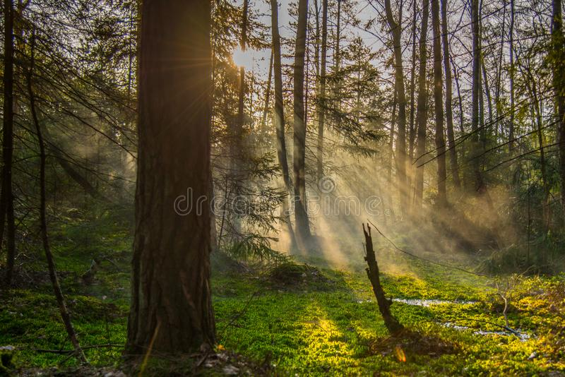 forest landscape at sunrise royalty free stock images