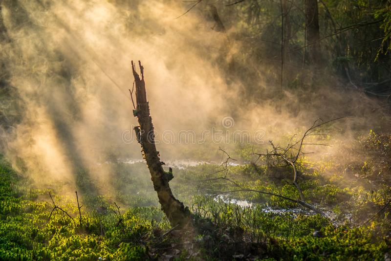 Mystical scary forest at dawn stock image