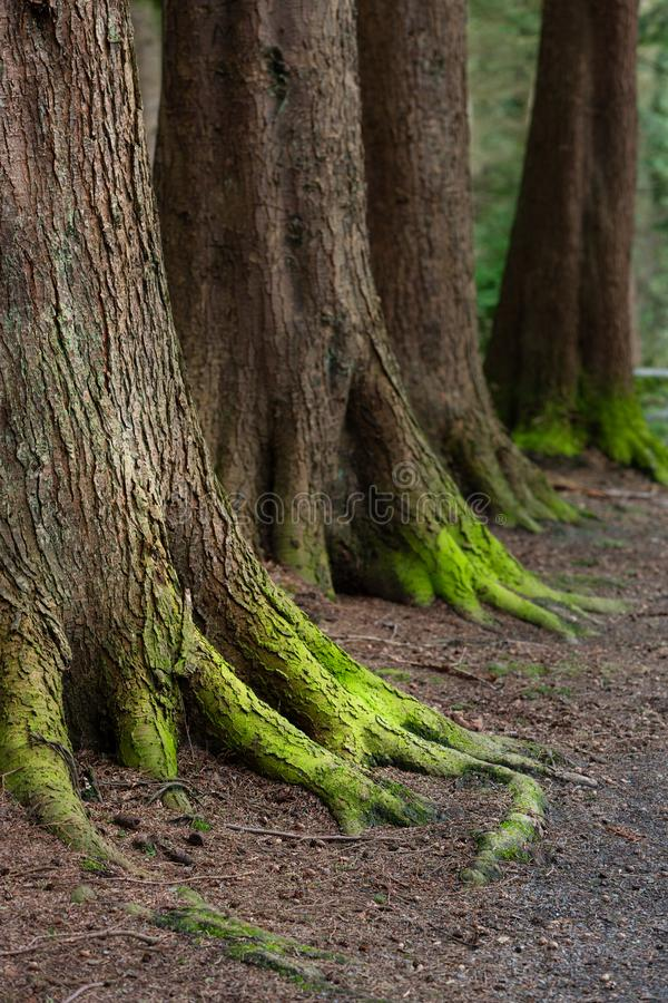 Mystical Woods, Natural green moss on the old oak tree roots. Natural Fantasy forest background stock photos