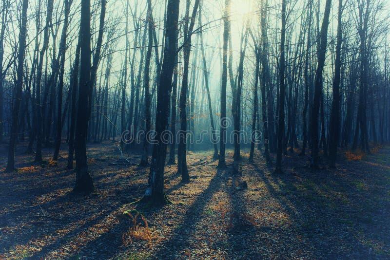 Mysticus mistig bos met naakte bomen, lange schaduwen royalty-vrije stock afbeeldingen