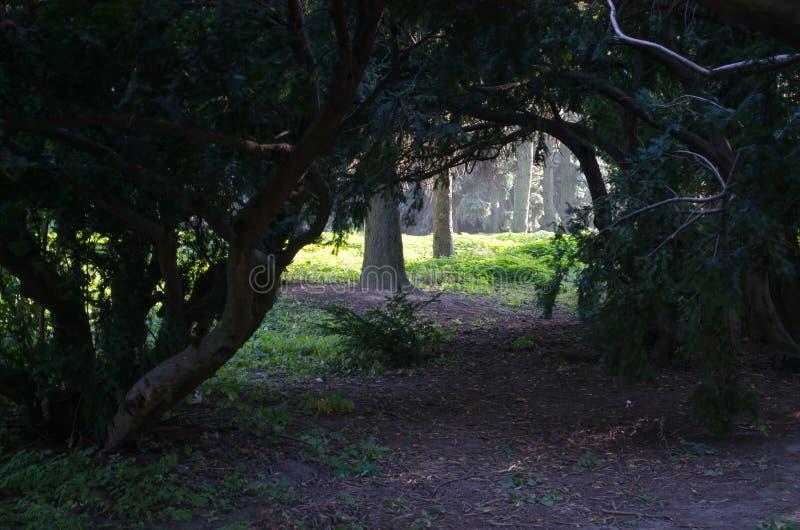 Mysticusboog van naaldbomen in botanische tuin stock foto