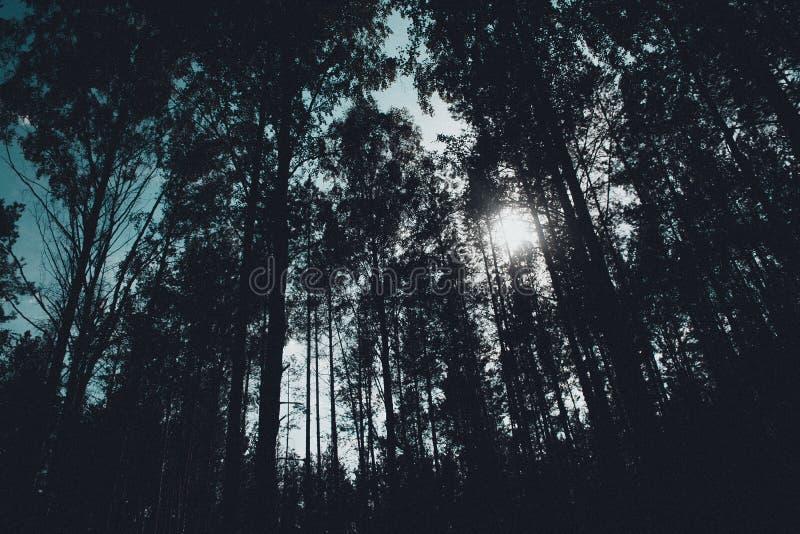 Mysticusbos, zonstralen het binnengaan stock afbeelding