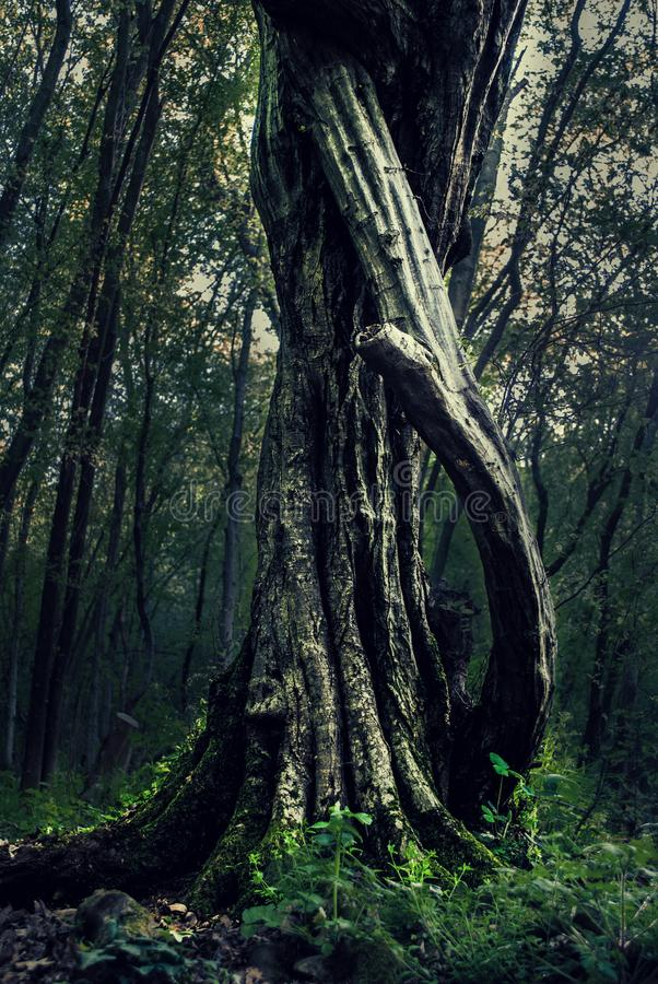Mystieke boom op de lentedag in het dichte donkere bos royalty-vrije stock afbeeldingen