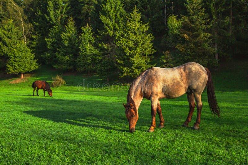 Mystikersoluppgång över berget Vildhäst som betar i ängen, Bulgarien, Europa arkivbilder