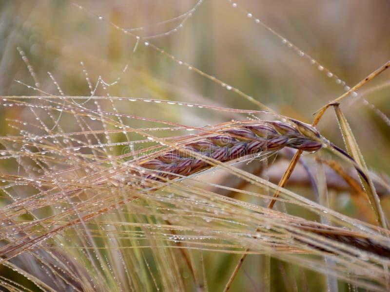 Mystische abstrakte Getreideohren, Morgentau, lizenzfreies stockbild