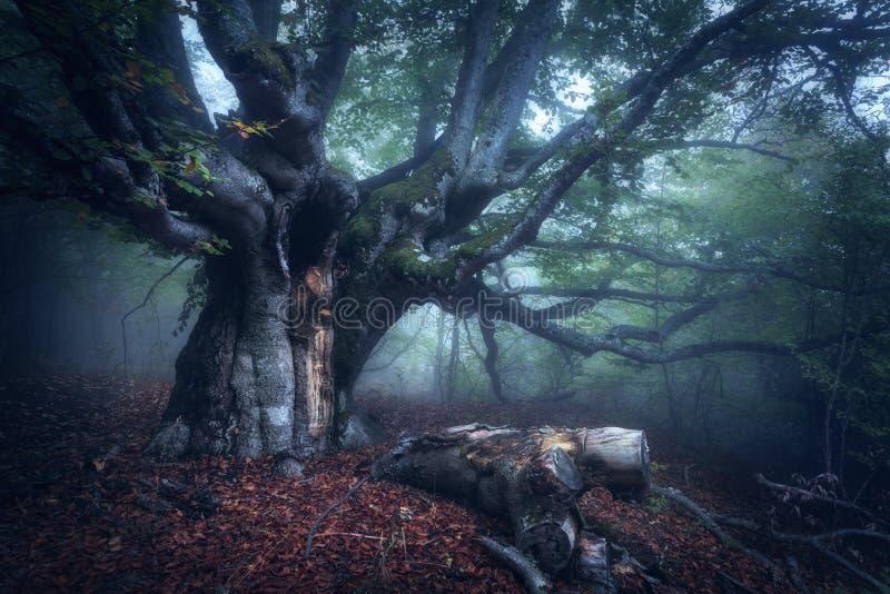 Mystisk höstskog i dimma i morgonen gammal tree arkivfoto