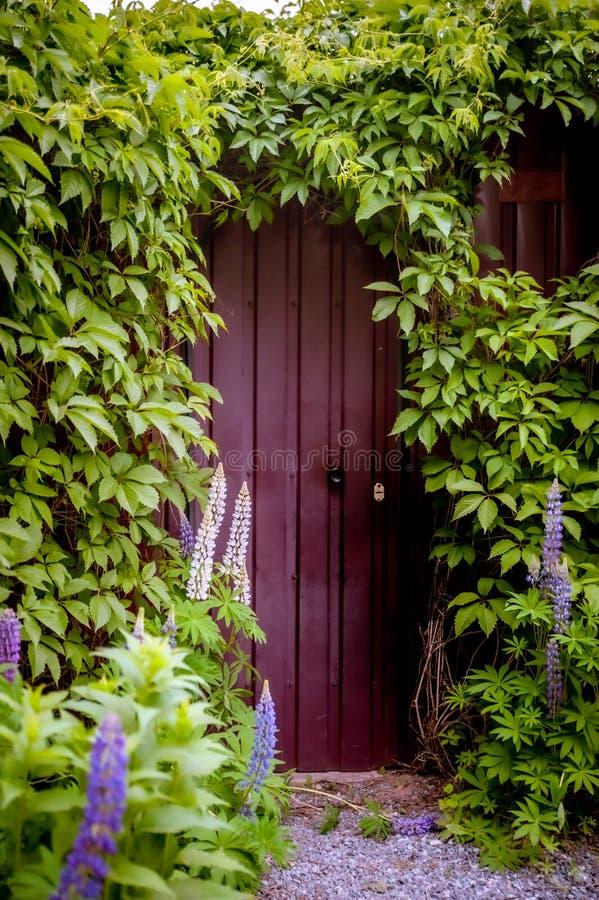 Mystisk ingång i en tegelstenvägg som täckas med gröna vinrankor, nytt liv eller början royaltyfria foton