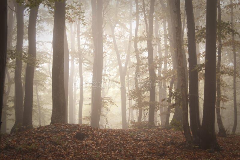Mystisk skog med dimma och ljus på soluppgång arkivbild