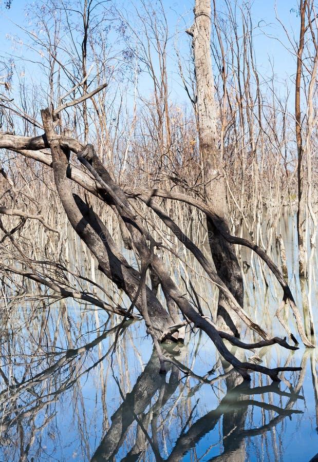 Mystrious döda trädMenindee sjöar Australien arkivbild