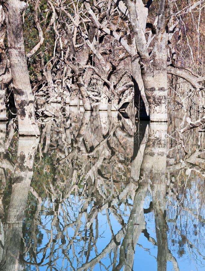 Mystrious döda trädMenindee sjöar Australien arkivfoto