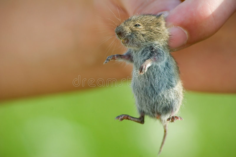 mysz obrazy royalty free