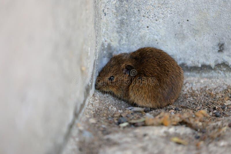 Mysz w domowym kącie obrazy stock