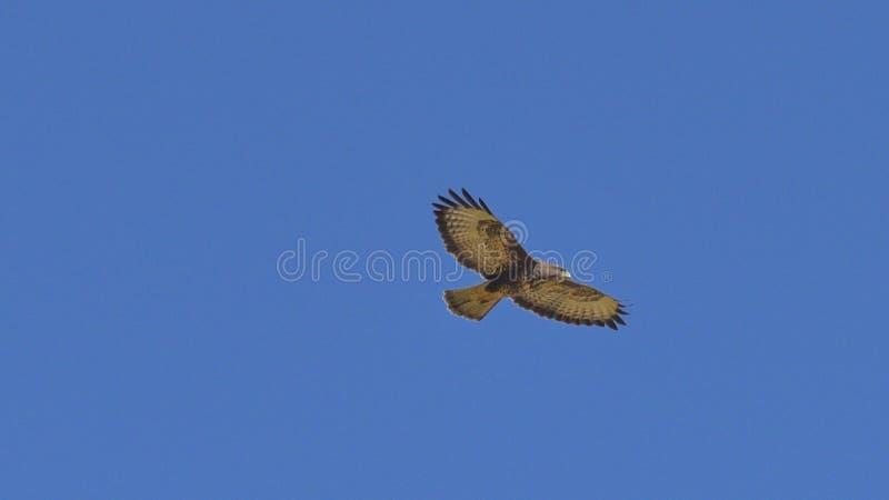 myszołów który lata z otwartymi skrzydłami, zdjęcie royalty free