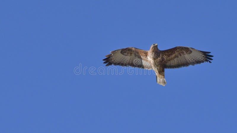 myszołowa latanie w niebieskim niebie obrazy stock