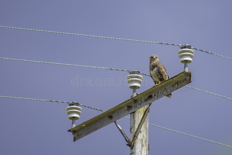 Myszołowa tyczenie na elektryczność pilonie zdjęcia royalty free