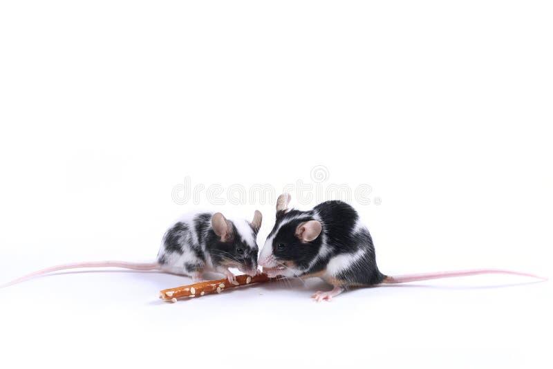 myszy obrazy stock