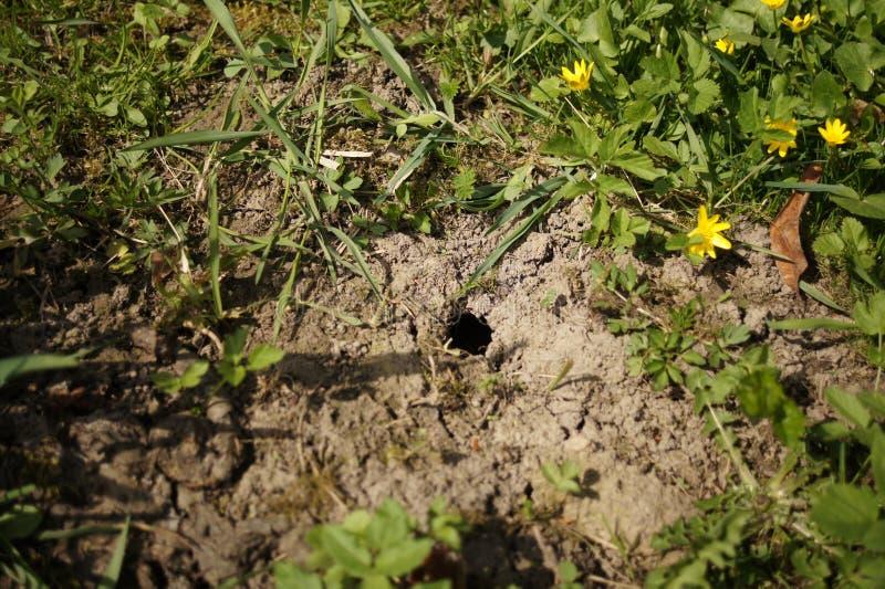 Myszy dziura w ziemi Wyderkowa gramocząsteczka na gazonie na trawie Lato Forrest obraz stock