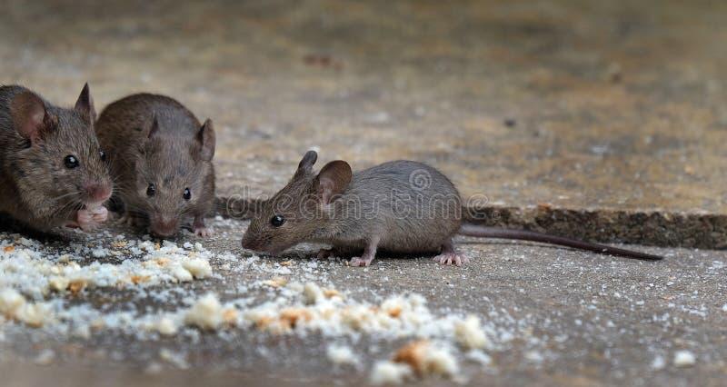 Myszy karmi w domu ogródzie zdjęcie stock