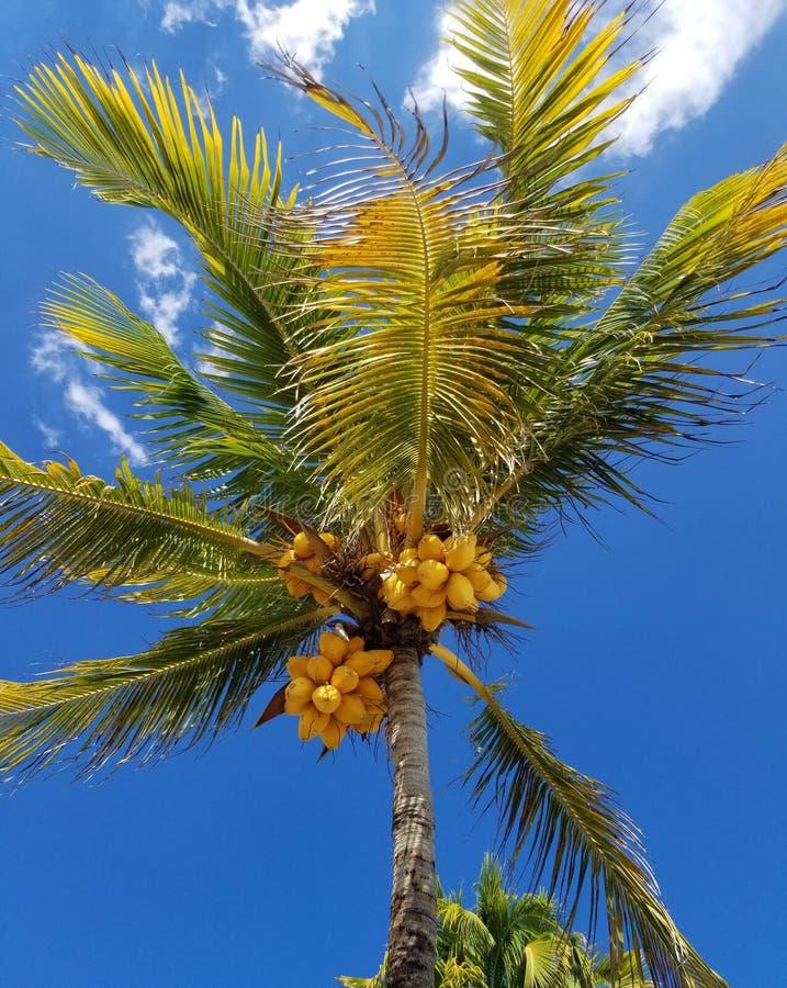 Não todas as palmeiras têm cocos fotografia de stock