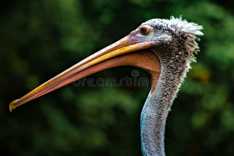 Näbb av pelikan arkivbild