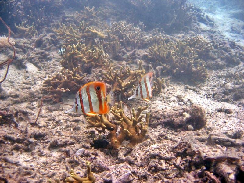 näbbformig coralfish royaltyfri fotografi