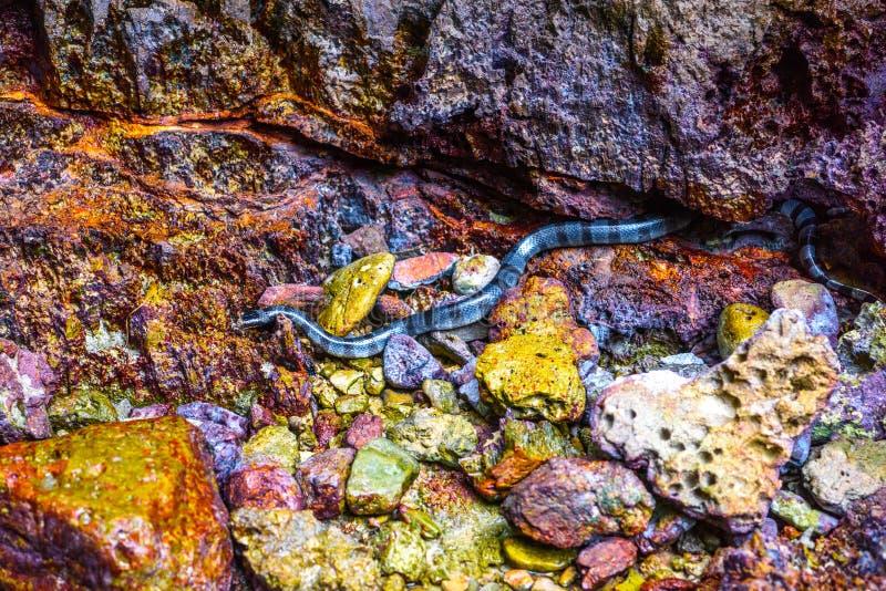 Näbbformig satt band Enhydrina för havsorm schistosa, Phi Phi Leh öar royaltyfri foto