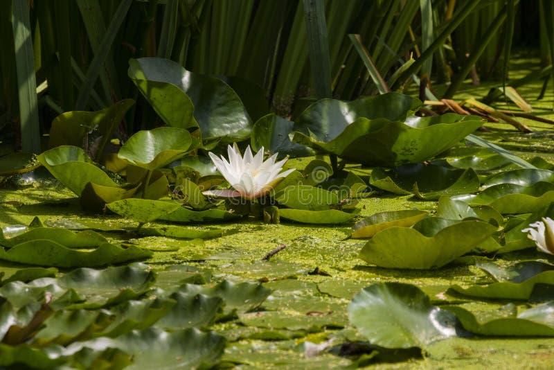 Näckrons i ett litet naturligt damm fotografering för bildbyråer