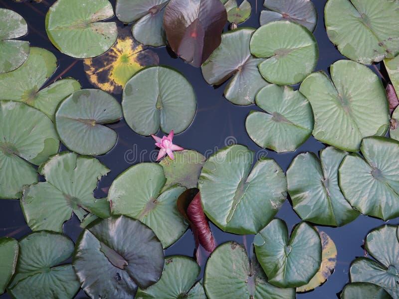 Näckrons på den lilla sjön, vita Nymphaeaalbum för älskvärda blommor, kallade gemensamt näckrons eller näckrons bland gräsplan royaltyfria bilder