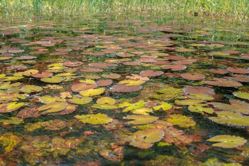Näckrors fyllde sjöarna (Republiken Kongo) royaltyfri fotografi