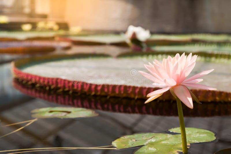 Näckros för pastellfärgad färg i dammet royaltyfri foto