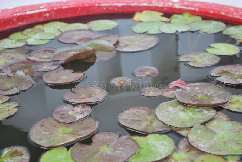 Näckros Lotus, Muang, Thailand arkivbilder